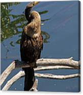 Anhinga Immature Canvas Print