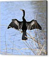 Anhinga Over Blue Water Canvas Print