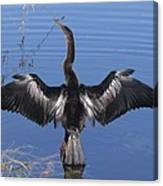 Anhinga  Sunbathing Canvas Print