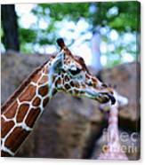 Animal - Giraffe - Sticking Out The Tounge Canvas Print