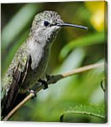 Anna Hummingbird Canvas Print
