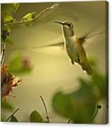 Rufus  Humming Bird  Canvas Print