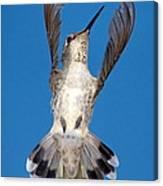 Anna's Hummingbird Tail Display Canvas Print