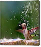 Anna's Hummingbird Taking A Shower Canvas Print