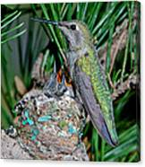 Annas Hummingbird With Young Canvas Print