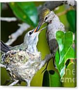 Annas Hummingbirds At Nest Canvas Print