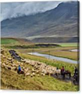 Annual Autumn Sheep Roundup Canvas Print