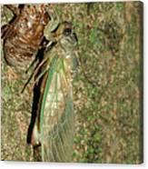 Annual Cicada Canvas Print