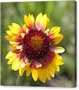 Annual Coreopsis Canvas Print