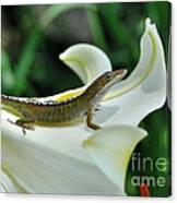 Anole On A White Lily Canvas Print