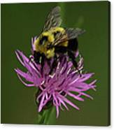 Another Bee? Canvas Print