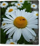 Ant Nothing Sweeter Than My Little Daisy Canvas Print