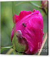 Ant On Peony Canvas Print