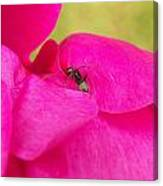 Ant On Pink Canvas Print