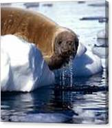 Antarctic Crabeater Seal Canvas Print