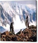 Antarctic Gentoo Penguins Canvas Print