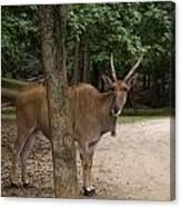 Antelope Behind A Tree Canvas Print