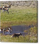 Antelope   Duck   And Coyote Canvas Print
