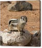 Antelope Ground Squirrel Canvas Print