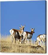 Antelope Herd   #0296 Canvas Print