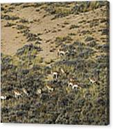 Antelope Herd Panorama  Signed   20x80 Canvas Print