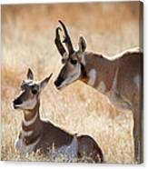 Antelope Love Canvas Print