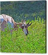 Antelope Near Wildlife Loop Road In Custer State Park-south Dakota- Canvas Print