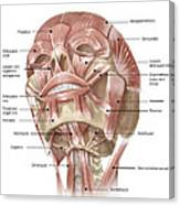 Anterior Neck And Facial Muscles Canvas Print