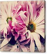 Antique Pink And White Daisies Canvas Print