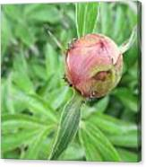 Ants On A Peonies Canvas Print