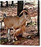 Aoudad Plus 2 Canvas Print