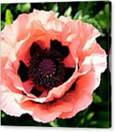 Appealing Pink Poppy Canvas Print