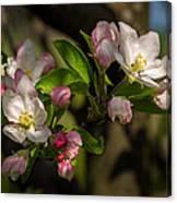 Apple Blossom 3 Canvas Print