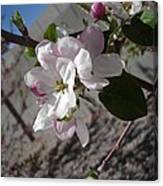 Apple Blossoms 3 Canvas Print