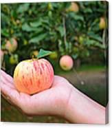 Apple Pick Canvas Print