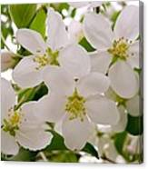 Apple Tree Blossoms Canvas Print