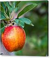 Apples Hanging In Orchard Canvas Print
