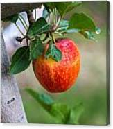 Apples Hanging In The Orchard Canvas Print
