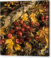 Apples In Fall Canvas Print