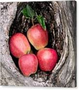Apples In Tree Canvas Print