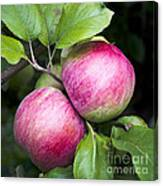 2 Apples On Tree Canvas Print