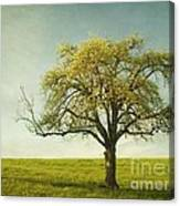 Appletree Canvas Print