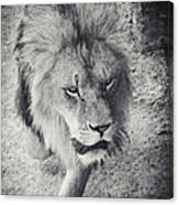 Approaching Lion Canvas Print