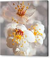 Apricot Blooms Canvas Print