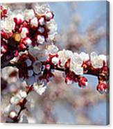 Apricot Blossoms Popping Canvas Print