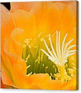 Apricot Glow Canvas Print