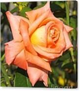 Apricot Nectar Rose Canvas Print