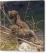 Arabian Leopard Panthera Pardus Cubs Canvas Print