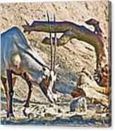 Arabian Oryx In Living Desert In Palm Desert-california Canvas Print
