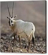 Arabian Oryx Oryx Leucoryx Canvas Print